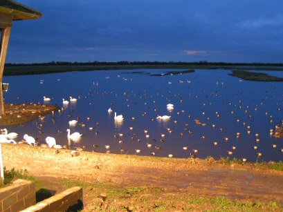 The view from Welney Hide - illuminated swans